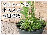 ビオトープ水辺植物
