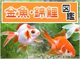 金魚・錦鯉図鑑