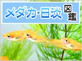 メダカ・日淡図鑑