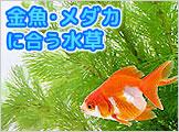 金魚・メダカ・水草/金魚藻