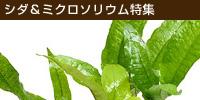 特徴的な水草シダをご紹介!