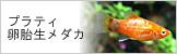 プラティ・卵胎生メダカ