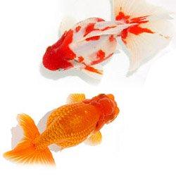 金魚の品種カタログ