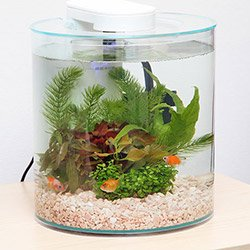 水槽で楽しめる金魚特集