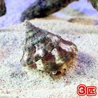 貝 タカセガイ Sサイズ(3匹)