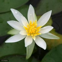 睡蓮 ヒツジグサ(1ポット) 浮葉植物