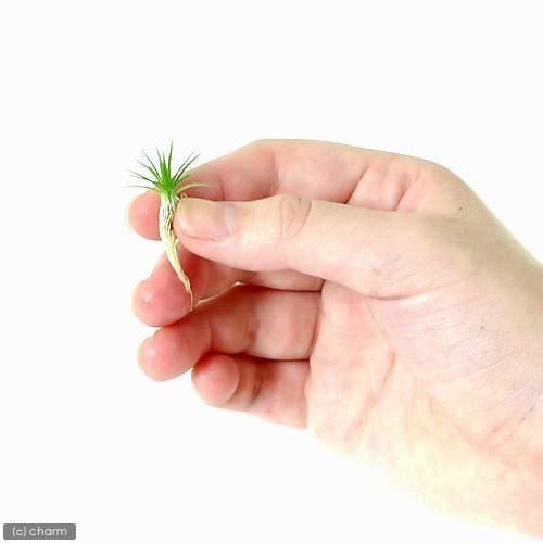 (水草)日本産ホシクサSサイズ(キネレウム)(無農薬)(1株) 北海道航空便要保温