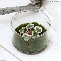 苔Terrarium 斑入りユキノシタ(御所車) 蓋付カップL 説明書付