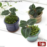 盆栽 豆鉢 苔盆栽 Ver.ベニシュスラン(1鉢)