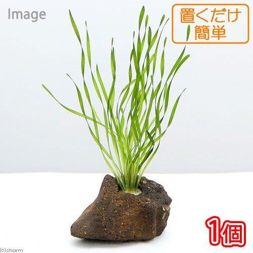 (水草)置くだけ簡単 スクリューバリスネリア 穴あき溶岩石付(無農薬)(1個)