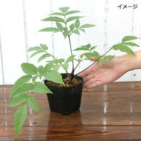 山菜 ヤマウド(山独活)3.5号(1ポット) 家庭菜園 (休眠株)