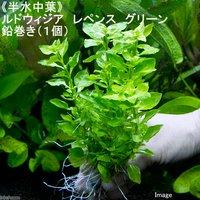 半水中葉 ルドウィジア レペンス グリーン 鉛巻き(無農薬)(1個)