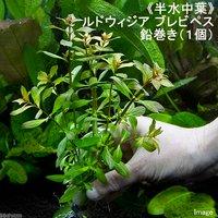 半水中葉 ルドウィジア ブレビペス 鉛巻き(無農薬)(1個)