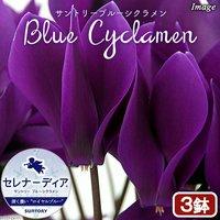 ブルーシクラメン セレナーディア ロイヤルブルー 4号(3鉢)