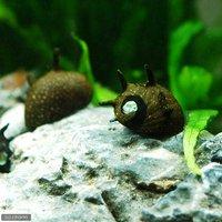 サザエ石巻貝(6匹)