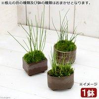 苔盆栽 益子焼鉢植え ヒメホタルイ 鉢おまかせ(1鉢)