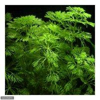メダカ・金魚藻 アンブリア(水上葉)(無農薬)(5本)