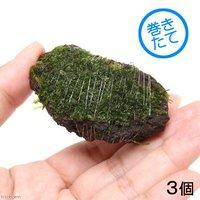 巻きたて ジャイアント南米ウィローモス 富士ノ溶岩石 ミニサイズ(約4~6cm)(無農薬)(3個)