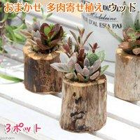 私のオアシス 多肉寄せ植え 流木ポット mini( 3個セット) 北海道冬季発送不可