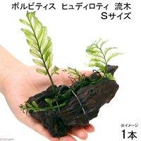 巻きたて ボルビティス ヒュディロティ 流木 Sサイズ(約15cm)(無農薬)(1本)