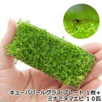 (水草)ミナミヌマエビ(10匹)+キューバパールグラス プレート(無農薬)(1枚)