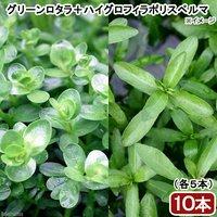 ビギナー向け水草 2種セット(グリーンロタラ+ハイグロフィラポリスペルマ)(水上葉)(各5本)