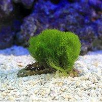 海藻 マユハキモ Sサイズ(1個)