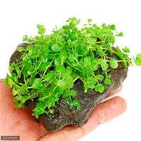 ラージパールグラス(水上葉) 穴あき溶岩石付(無農薬)(1個)