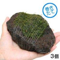 巻きたて ジャイアント南米ウィローモス 富士ノ溶岩石 Mサイズ(約10~12cm)(無農薬)(3個)
