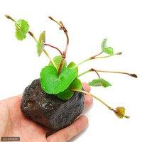 アマゾンチドメグサ(水上葉) 穴あき溶岩石付(無農薬)(1個)