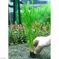 マルチリングブラック(黒) スクリューバリスネリア(無農薬)(2個)