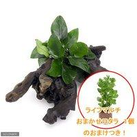 アヌビアスナナ 流木付 Mサイズ(1本)(約20cm) ライフマルチ(茶) おまかせロタラ 1個 のおまけつき
