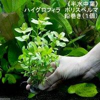 半水中葉 ハイグロフィラ ポリスペルマ 鉛巻き(無農薬)(1個)