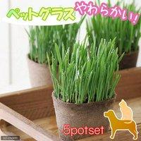 ペットグラス ワンちゃんの草 燕麦 直径8cmECOポット植え(無農薬)(5ポットセット) 犬のおやつ 北海道冬季発送不可