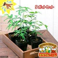 ハーブ苗 ニーム ミラクルニーム(インドセンダン) 3号(5ポット) 虫除け植物