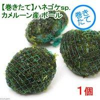 巻きたて ハネゴケsp.カメルーン産 ボール(無農薬)(1個)