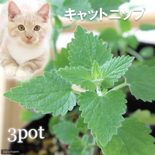 (観葉植物)ハーブ苗 猫草 キャットニップ コモン 3号(お買い得3ポットセット) 家庭菜園