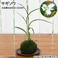 苔玉 サギソウ 二株(1個) 観葉植物 コケ玉