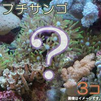 おまかせプチサンゴ(ソフトコーラル)(3個)