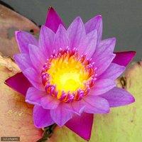 睡蓮 熱帯性睡蓮(スイレン)(紫)パナマパシフィック(1ポット)(ムカゴ種)  休眠株