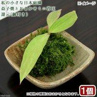 苔 私の小さな日本庭園 益子焼とおまかせミニ苔玉 還元(1セット)観葉植物 コケ玉 休眠株