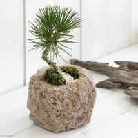 盆栽 山野草盆栽 抗火石鉢植え クロマツ(黒松)飾り石付き Sサイズ(1鉢)