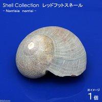 貝殻 シェルコレクション レッドフットスネール SMサイズ(1個)