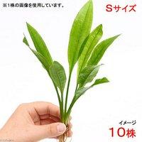 Sサイズ 国産 無農薬 アマゾンソード(草丈15~20cm前後)(10株)