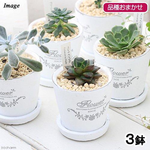 (観葉植物)エケベリア(品種おまかせ) フレグランドラウンドポットXXS(3鉢) 受け皿付き