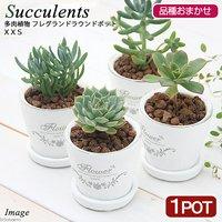 多肉植物(品種おまかせ) フレグランドラウンドポットXXS(1鉢) 受け皿付き 北海道冬季発送不可