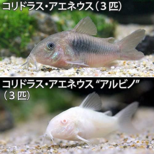 (熱帯魚)コリドラス・アエネウス(3匹) +コリドラス・アエネウス アルビノ(3匹)