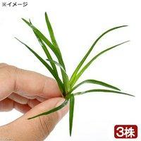 ホシクサsp.クチ(無農薬)(3株)