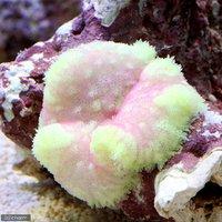 グビジンイソギンチャク パステル系 おまかせカラー(1匹)無脊椎動物