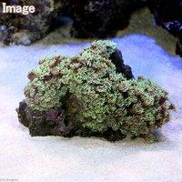 ハナガササンゴ おまかせカラー Sサイズ(1個)